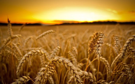 6850354-wheat-field